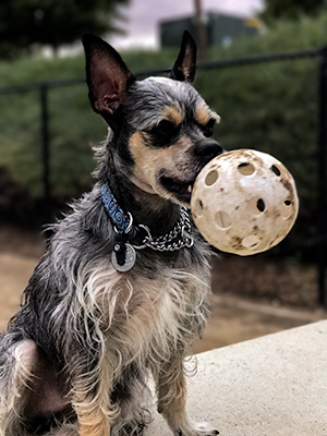 Mister Riley (one of the official bankruptcy dogs) with a whiffle ball in his mouth.
